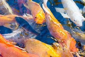 آیا ماهی قرمز هفت سین ناقل ویروس کروناست؟