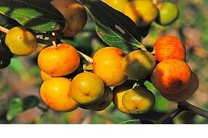 میوه درخت سدر چه خواصی دارد؟